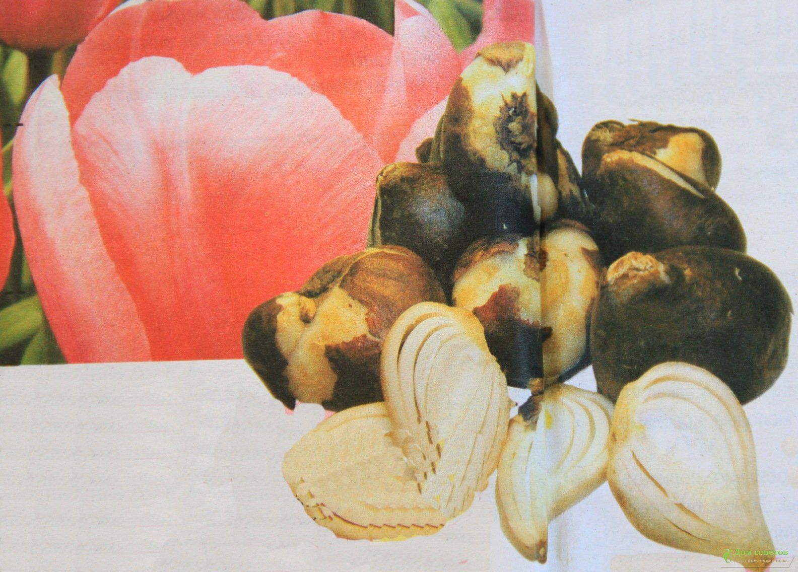 Тюльпаны луковицы сажают в августе